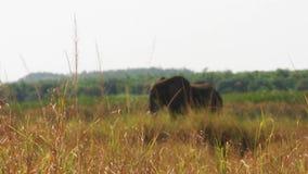 De grote olifant in het gras stock videobeelden