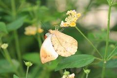 De grote Oranje Vlinder en de bloemen van het Uiteinde Stock Afbeelding
