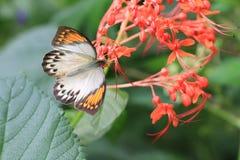 De grote Oranje Vlinder en de bloemen van het Uiteinde Stock Fotografie