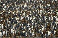De grote Overvolle Kolonie/de Roekenkolonie van de Pinguïn van de Koning. Royalty-vrije Stock Afbeeldingen