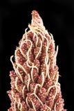 De grote peul van het bloemzaad Stock Fotografie