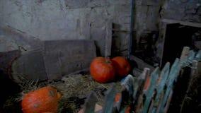 De grote pompoenen zijn in de oude schuur Anticiperen van een mirakel stock video