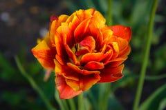 De grote rood-en-gele knop van de tulp kwam in de lente tot bloei Stock Afbeelding