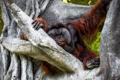 De grote roodharige harige mannelijke orangoetan met grote wang zit op een grote boom dichtbij het horizontale kader Royalty-vrije Stock Afbeeldingen