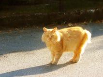 De grote roodharige kat bekijkt wat met verrassing gebeurt Waakzaam huisdier Gang favoriet huisdier langs de stadsstraat Het besc stock fotografie
