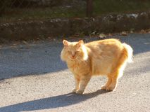 De grote roodharige kat bekijkt wat met verrassing gebeurt Waakzaam huisdier Gang favoriet huisdier langs de stadsstraat Het besc stock afbeeldingen
