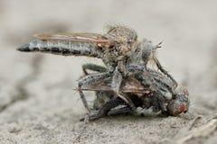De grote roofzuchtige roversvlieg ktyr greep vlieg en het berijden op de weg in het zand, die het in zijn wapens proberen te houd royalty-vrije stock afbeeldingen