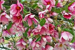 De grote roze achtergrond van de boombloemen van de de lente bloeiende magnolia royalty-vrije stock foto