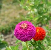 De grote roze bloem van Zinnia in de zomer Royalty-vrije Stock Foto's