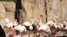 De grote roze Flamingo maakt veren in natuurlijk vijverpark schoon stock videobeelden