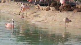 De grote roze Flamingo maakt veren in natuurlijk vijverpark schoon stock video