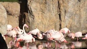 De grote roze Flamingo maakt veren in natuurlijke vijver schoon stock footage