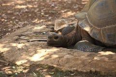 De grote schildpad ligt Stock Foto
