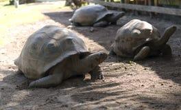 De grote schildpad van Seychellen Stock Foto's