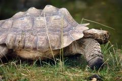De grote schildpad van Seychellen Stock Foto
