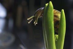 De grote slak in het gebladerte van hyacint, sluit omhoog stock afbeelding
