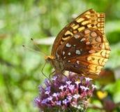 De grote spangled fritillary nippende nectar van vlinderspeyeria cybele door zuigorganen op ijzerkruidbonariensis royalty-vrije stock afbeelding
