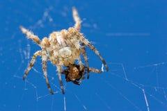 De grote spin eet klein Stock Afbeeldingen