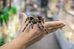 De grote spintarantula zit het kruipen op het mensen` s wapen Stock Fotografie
