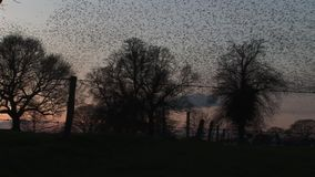 De grote troep van starlings vliegt snel van bomen in de avondlicht van Engeland stock footage