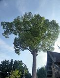De grote twee honderd jaar boom van Yang en de stijl van Ubosodh Lanna Stock Foto's