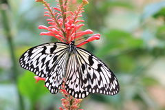 De grote vlinder van Boomnimfen en rode bloem Royalty-vrije Stock Foto's