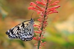 De grote vlinder van Boomnimfen en rode bloem Stock Foto's