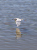 De grote Vogel van de Aigrette Royalty-vrije Stock Afbeeldingen