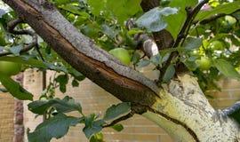 De grote vorstbarsten in het appelvat sluiten omhoog stock afbeelding