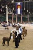 De grote Westelijke Alpaca toont Stock Foto's