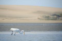 De grote witte aigrette jacht voor vissen en voedsel stock foto's