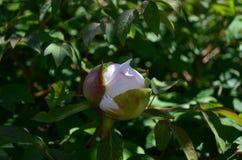 De grote witte boom van de bloempioen op de struik stock foto's