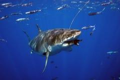 De grote Witte Haai heeft een Snack stock foto's
