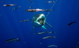 De grote Witte Haai neemt een Beet royalty-vrije stock afbeelding