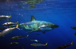 De grote Witte Haai snuffelt rond stock afbeeldingen