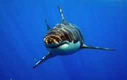 De grote Witte Haai snuffelt rond royalty-vrije stock afbeelding