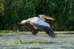 De Grote Witte Pelikaan die (Pelecanidae) in de Delta van Donau vliegen stock afbeelding
