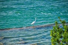 De grote witte reiger strijkt op rots in Oceaan op strand in de Sleutels van Florida neer royalty-vrije stock foto's