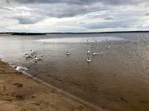 De grote witte vogelsmeeuwen op het zandige strand van de rivierbank, het meer drijft in het water royalty-vrije stock foto