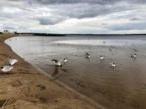 De grote witte vogelsmeeuwen op het zandige strand van de rivierbank, het meer drijft in het water stock foto