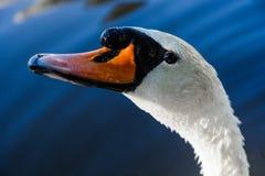De grote witte zwaan zwemt op de oppervlakte van meer Stock Afbeeldingen