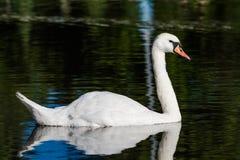 De grote witte zwaan zwemt op de oppervlakte van meer Royalty-vrije Stock Foto's