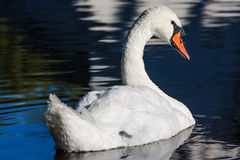 De grote witte zwaan zwemt op de oppervlakte van meer Royalty-vrije Stock Afbeeldingen