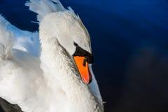 De grote witte zwaan zwemt op de oppervlakte van meer Royalty-vrije Stock Foto