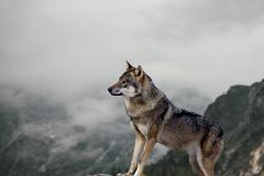 De grote wolf bevindt zich op de rots en let op het milieu Mist en de herfstlandschappen op de achtergrond stock fotografie