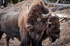 De grote Yellowstone-Bizonclose-up Royalty-vrije Stock Afbeeldingen