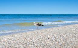 De grote zeemeeuwen van de Zwarte Zee in de natuurlijke habitat Stock Foto