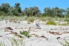De grote zeemeeuwen van de Zwarte Zee in de natuurlijke habitat Royalty-vrije Stock Afbeelding
