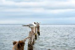 De grote zeemeeuwen van de Zwarte Zee in de natuurlijke habitat Royalty-vrije Stock Foto