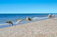 De grote zeemeeuwen van de Zwarte Zee in de natuurlijke habitat Royalty-vrije Stock Afbeeldingen